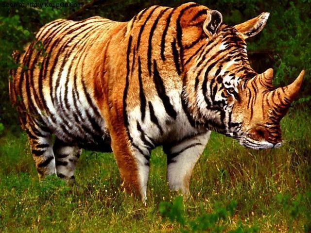 Play Teams Rhino Tigers
